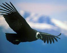 El majestuoso vuelo del Cóndor en Mérida, Andes venezolanos. Aves de Venezuela
