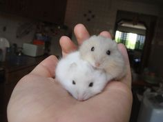 dwarf hamster - Google Search