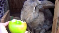Big Flemish Giant Bunny Rabbit Attacks Apple