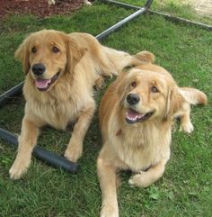 #goldenretriever #dogs ..... I really think Marley needs a brother