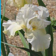 TB Iris germanica 'Soda Fountain Shuffle' (Lockatell, 2015)