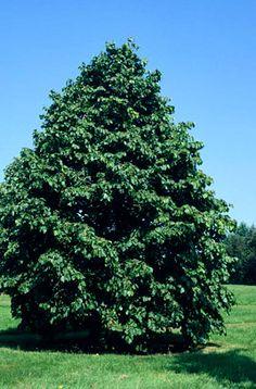 Aesculus hippocastanum baumanii gc1lp 20m port for Jardin royal niort