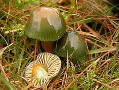The Parrot Toadstool (Hygrocybe psittacina) is found across northern Europe, Iceland, Greenland, the Americas, South Africa and Japan.