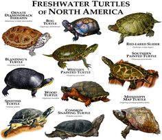 Fine art illustration of various species of freshwater turtles native to North America