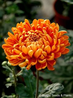 Chrysanthemum Astro Bronze: A good intermediate orangey bronze that flowers in mid October.