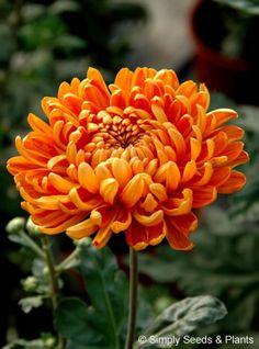 Chrysanthemum Astro Bronze: A good intermediate orangey bronze that flowers in mid October.