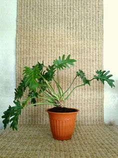 """Philodendron xanadu in 7"""" terracotta colored bioplanter for sale from a one-person online plant nursery in Phoenix, AZ. Local meetup by appointment, or delivery may be possible for sizable orders."""