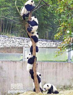 A panda tree, Chengdu panda breeding centre, Sichuan Province, China
