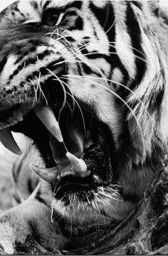 Is he yawning or bearing his fangs?