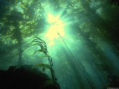 beautiful kelp forest (underwater forest)