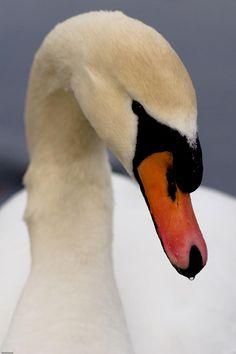 White Swan Photograph
