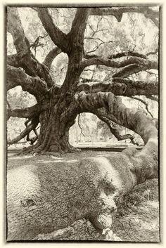 Jacksonville's Ancient Oak Trees