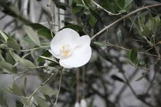 Tree decoration of bright white orchid was tied with ribbon to the Olive tree. Other decorations included little bunches of gypsophila, willow hearts, wooden hearts and ribbons.