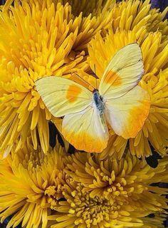 Mariposa sobre flores amarillas