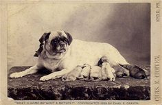 """""""What is a home without a mother"""". A pug dog with six puppies. Pug Photos, Photos With Dog, Pug Pictures, Old Pug, Pug Art, Vintage Dog, Vintage Prints, English Bull Terriers, Cute Pugs"""