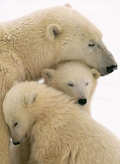 polar bear love...