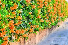 Climbing plants add a subtle effect to a garden and soften the way fences, walls, arches, and pergolas appear. With the best flowering climbing plants mentioned below, you can give added interest to your garden along with other flora and fauna. Flora Garden, Garden Art, Garden Ideas, Beautiful Flowers Garden, Amazing Flowers, Flowering Plants In India, Creepers Plants, Climber Plants, Planting Flowers