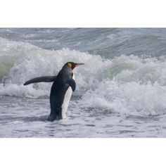 King Penguin Salisbury Plain South Georgia Canvas Art - Keren Su DanitaDelimont (24 x 15)