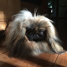 "Leo the Peke on Instagram: ""Back when I could imitate grumpy cat! #throwbackthursdays #peke #pekingese #pekestagram #pekesofinstagram #puppy #dog #dogs…"""
