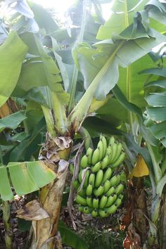 Some of our bananas Helen Medeiros Bermuda