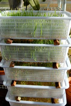 Great idea for winter sprouts! #BackyardChickens www.FreeHenHousePlans.net