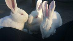 Marcia, Jan, and Cindy enjoying the sunshine and fresh air in OAS's bunny area. They're social girls, and love spending time with one of their favorite volunteers. For more info about these lovely girls please click on the link below.
