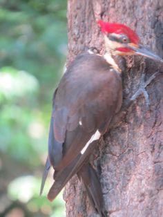Just your regular woodpecker!