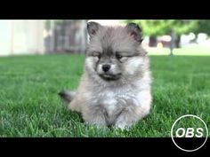 7 Weeks Old Pomsky Puppies So Cute And Energetic! Pomsky Puppies For Sale Pomsk. 7 Weeks Old Pomsky Puppies So Cute And Energetic! Pomsky Puppies For Sale Pomsk… 7 Weeks Old Po Puppy Kennel, Diy Dog Kennel, Puppy Grooming, Pomsky Puppies For Sale, Cute Puppies, Cute Dogs, Pomeranian Breed, Pomsky Dog, Pomeranians