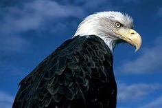 Aigle À Tête Blanche, Eagle