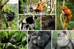 Most Primate Species Threatened With Extinction, Scientists Find:  From gorillas to gibbons, a wide-ranging survey finds that the world's primates are in steep decline.