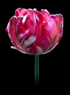 ~~ Raspberry Ripple ~ tulip by There and Back Again~~