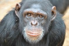 So moving; So beautiful. Rescued #Chimp Returns to Wild, But Not Before Giving Jane Goodall a Big Hug (VIDEO)
