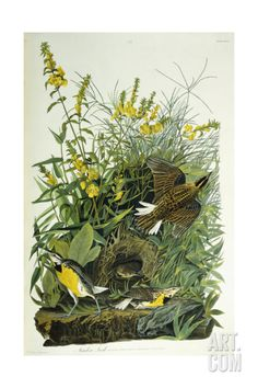 Meadow Lark, 1832 Giclee Print by John James Audubon at Art.com