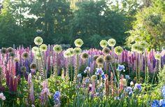 tuinkalender juni - Onderhoud in de tuin in de maand juni - Bloemenborder met oa allium giganteum, lupine en iris