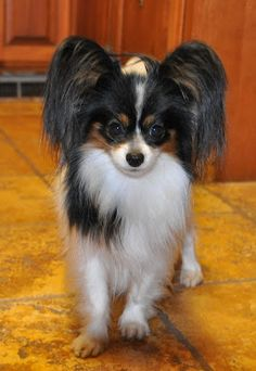 I love these little dogs. Hope to have one --someday