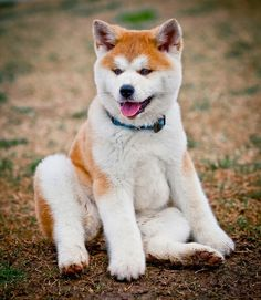 Akita Inu puppy...I want one!!!
