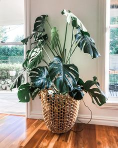 How to grow a Monstera Deliciosa Monstera Deliciosa, House Plants Decor, Plant Decor, Big House Plants, Real Plants, Potted Plants, Hanging Plants, Indoor Garden, Outdoor Gardens