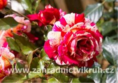 růže paganeno - Hledat Googlem Garden, Flowers, Plants, Compost, Garten, Lawn And Garden, Gardens, Plant, Gardening