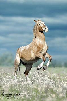 rearing appaloosa horse