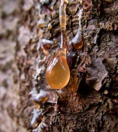 5 Survival Uses of Pine Resin » Survival Life | Preppers | Survival Gear | Blog