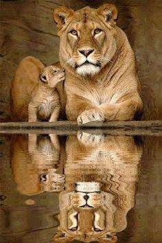 Lioness and Her Cub Reflections !IEC