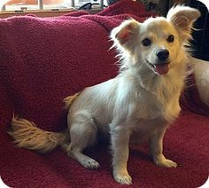 Sprout   Adopted Puppy   Phoenix, AZ   Maltese/Chihuahua Mix