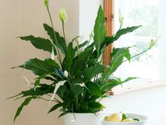 Gardening on pinterest foliage plants tire planters and poinsettia - Houseplants thrive low light youre window sill ...