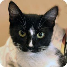 Walnut Creek, CA - Domestic Shorthair. Meet Twinkles a Cat for Adoption.