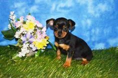 www.ThatDoggyintheWindow.com -  Trinah Female Toy Fox Terrier, $105.00…