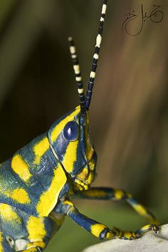 Grasshopper by Jamil-Akhtar