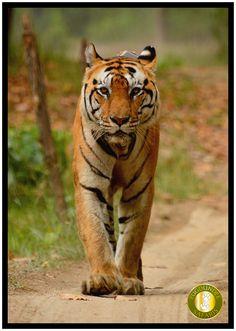 Kankatta #Tiger from Kisli Zone of #KanhaNationalPark Photo Courtesy: Mahes Gurung(Our Naturalist at Kanha Earth Lodge – www.kanhaearthlodge.com)