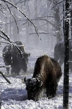 Trying to graze in winter, Yellowstone National Park