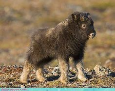 This is a baby musk ox, (Greenland). A baby musk ox on average will grow up to a weight of 285 kg lb)! What a cutie pie! Cute Baby Animals, Animals And Pets, Beautiful Creatures, Animals Beautiful, Baby Bison, Musk Ox, Mundo Animal, Mule Deer, Fauna
