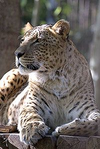 Jaglion (part 2) Jahzara is a male jaglion born in Bear Creek Sanctuary. Father was a Jaguar, mother a lion.